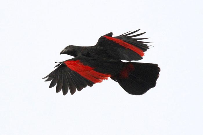 Pesquets dracula parrots birds new guinea 3 5e55393257091 700 - Conheça o papagaio Drácula, o pássaro mais gótico do mundo