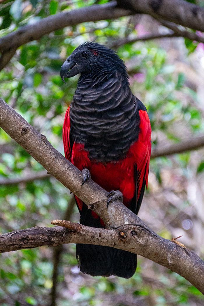 Pesquets dracula parrots birds new guinea 4 5e5539347826e 700 - Conheça o papagaio Drácula, o pássaro mais gótico do mundo