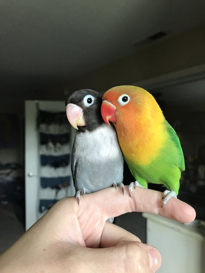 The internet fell in love with the story of the parakeet and his gothic girlfriend not to mention the children who came after wonderful 5b4d92b210dc1 700 - Kiwi, sua namorada gótica e seus 4 bebês que deixaram a Internet apaixonada