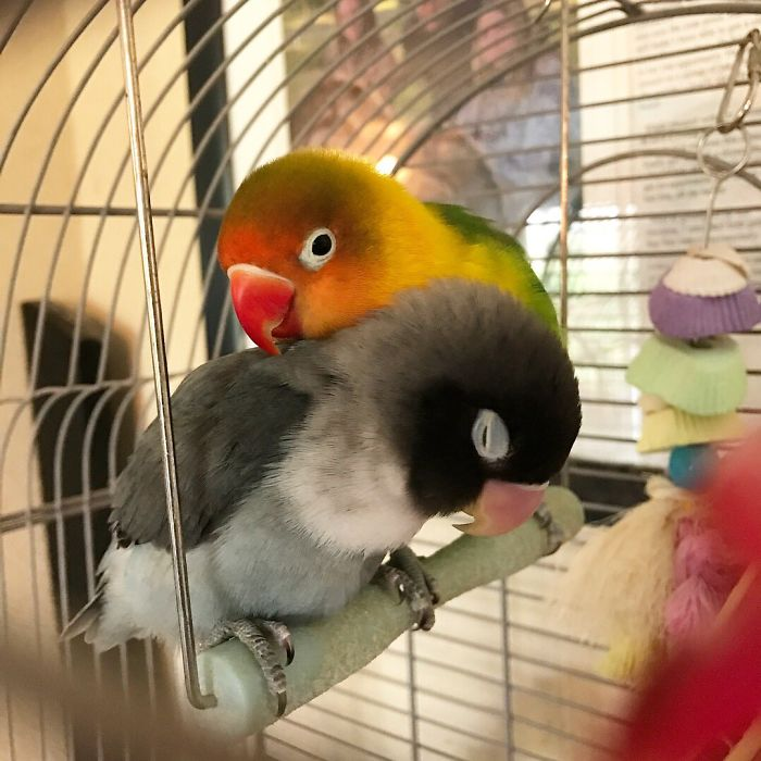 The internet fell in love with the story of the parakeet and his gothic girlfriend not to mention the children who came after wonderful 5b4d92b3e9951 700 - Kiwi, sua namorada gótica e seus 4 bebês que deixaram a Internet apaixonada