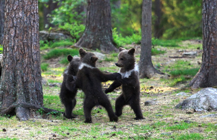 dancing baby bears cubs photography valtteri mulkahainen 1 2 5e46a1f72d0b5 700 - Professor encontra ursos bebês dançando na Finlândia e parece surreal