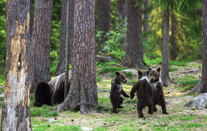 dancing baby bears cubs photography valtteri mulkahainen 1 3 5e46a1f94b22c 700 - Professor encontra ursos bebês dançando na Finlândia e parece surreal