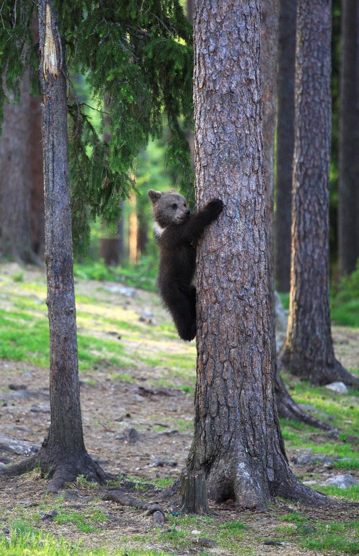 dancing baby bears cubs photography valtteri mulkahainen 1 8 5e46a20267d08 700 - Professor encontra ursos bebês dançando na Finlândia e parece surreal