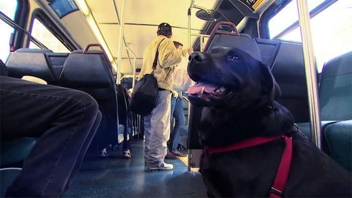 dog rides bus seattle eclipse 10 5948c8a87f62e 700 696x392 1 - Cadela pega ônibus todos os dias sozinha para ir ao parque