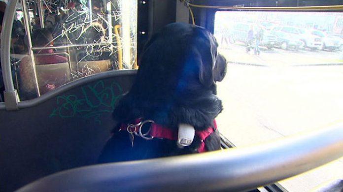 dog rides bus seattle eclipse 5948d57d296ed 700 696x390 1 - Cadela pega ônibus todos os dias sozinha para ir ao parque