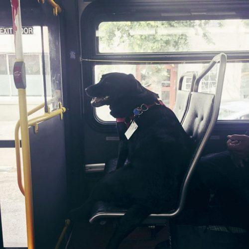 dog rides bus seattle eclipse 5948e1cee5c6f 700 500x500 1 - Cadela pega ônibus todos os dias sozinha para ir ao parque