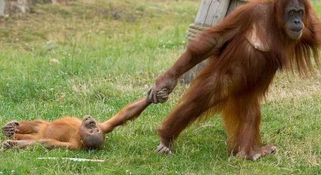 orango - Foto que registra birra de orangotango arrastado pela mãe viraliza
