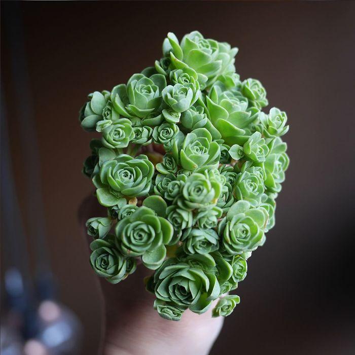 rosas1 - Conheça as rosas verdes, suculentas que parecem ter saído de um conto de fadas