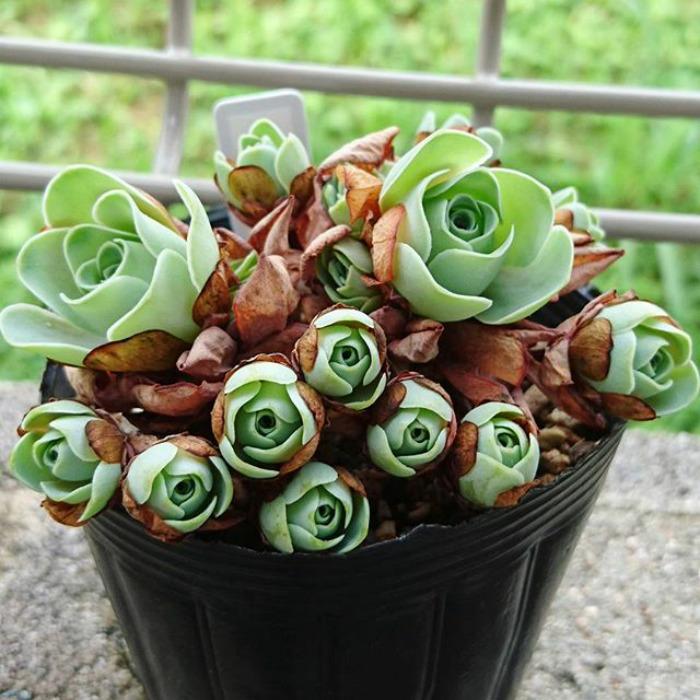 rosas3 - Conheça as rosas verdes, suculentas que parecem ter saído de um conto de fadas