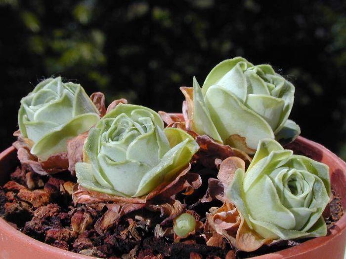 rosas4 - Conheça as rosas verdes, suculentas que parecem ter saído de um conto de fadas
