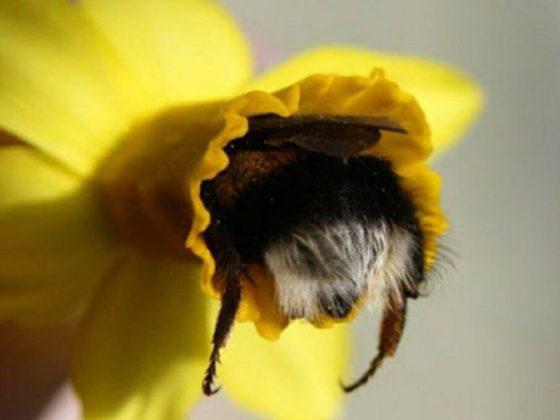 """tired bumblebees3 560x420 1 - Fotos de dorminhocas abelhas dormindo de """"bumbum pra cima"""" dentro de flores viralizam"""