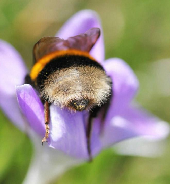 """tired bumblebees4 - Fotos de dorminhocas abelhas dormindo de """"bumbum pra cima"""" dentro de flores viralizam"""