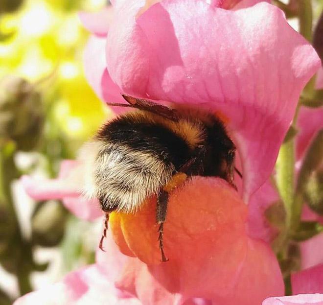 """tired bumblebees5 - Fotos de dorminhocas abelhas dormindo de """"bumbum pra cima"""" dentro de flores viralizam"""