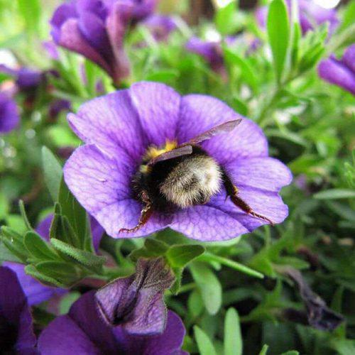 """tired bumblebees6 500x500 1 - Fotos de dorminhocas abelhas dormindo de """"bumbum pra cima"""" dentro de flores viralizam"""