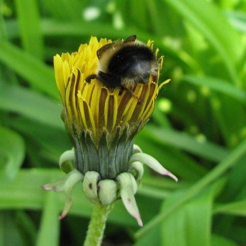 """tired bumblebees7 500x500 1 - Fotos de dorminhocas abelhas dormindo de """"bumbum pra cima"""" dentro de flores viralizam"""