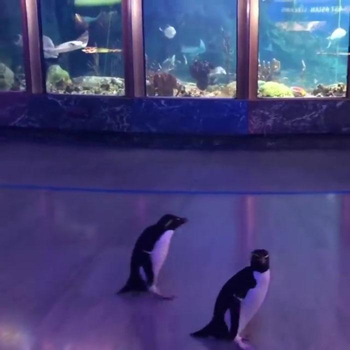 """2 5e70bd5396e79 700 - Após o fechamento, aquário de Chicago libera seus pinguins para uma """"excursão"""""""