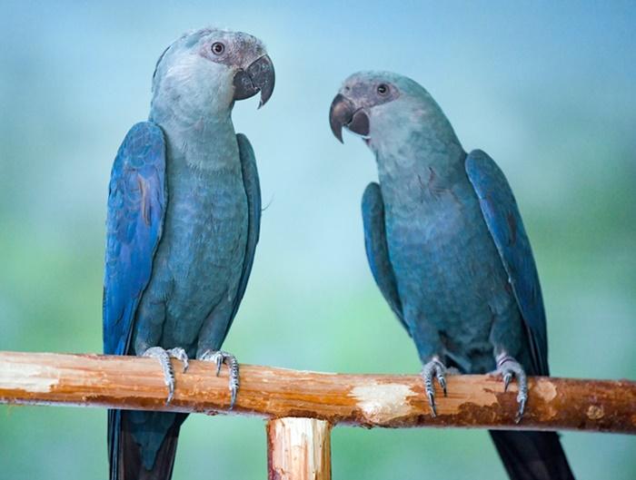 ararinha 00 - Após 20 anos de extinção, Brasil recebe 50 filhotinhos de araras azuis