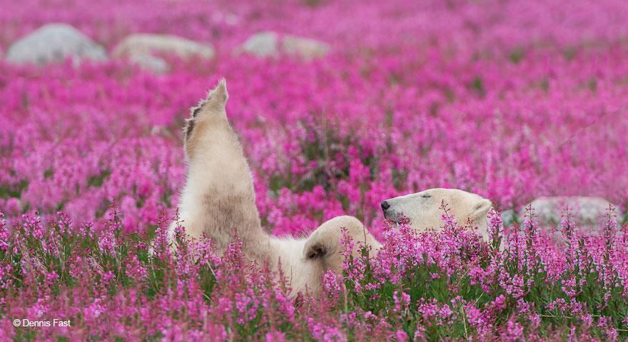 polar bear playing flower field dennis fast 21 - Fotógrafo canadense registra urso polar brincando em campo de flores
