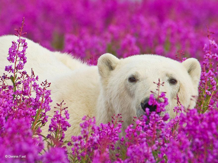 polar bear playing flower field dennis fast 23 - Fotógrafo canadense registra urso polar brincando em campo de flores