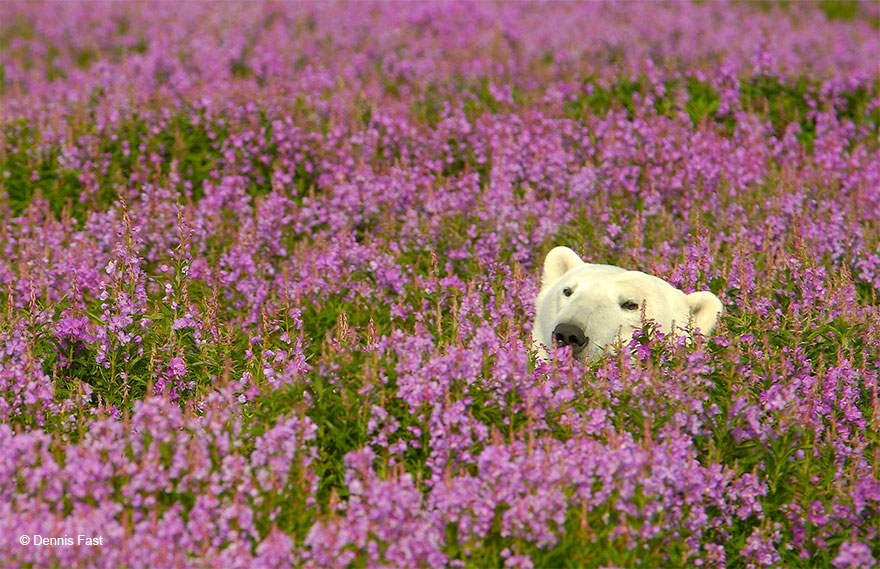 polar bear playing flower field dennis fast 24 - Fotógrafo canadense registra urso polar brincando em campo de flores