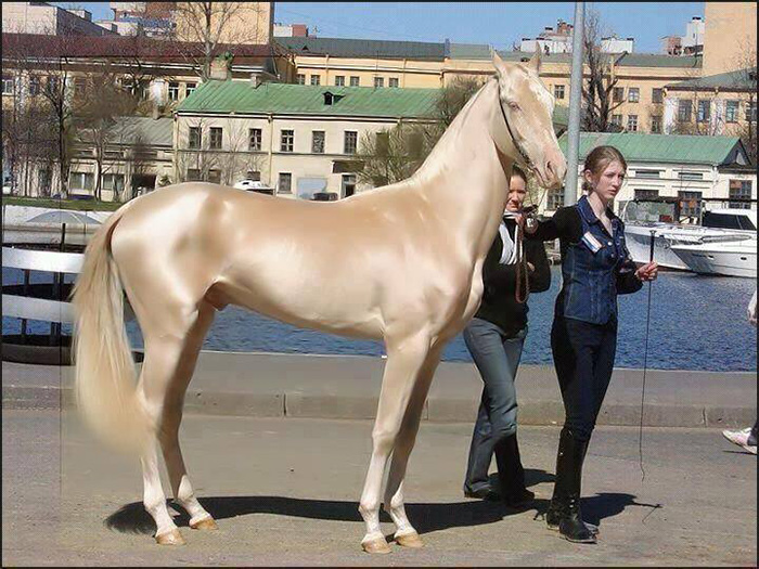 2 34 - Cavalo que tem uma pelagem brilhante como ouro encanta o mundo todo