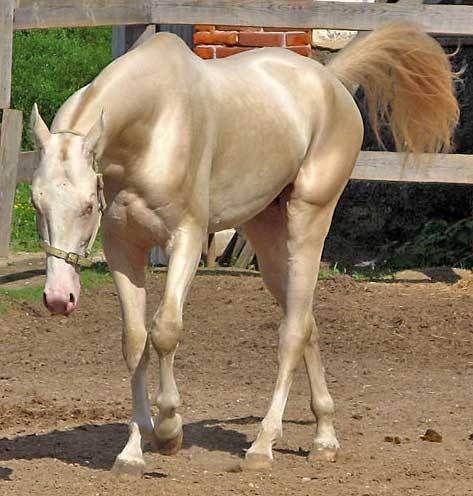3 33 - Cavalo que tem uma pelagem brilhante como ouro encanta o mundo todo