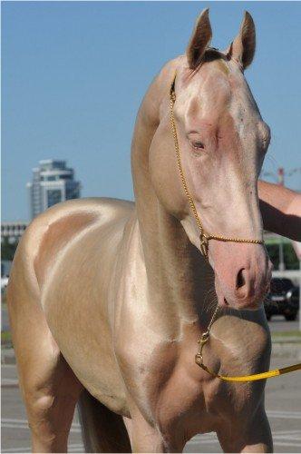 4 28 - Cavalo que tem uma pelagem brilhante como ouro encanta o mundo todo
