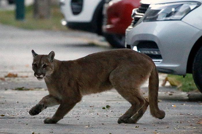 animals roam streets coronavirus quarantine 5e8b1deec93ec 700 - Animais aproveitam cidades em quarentena para conhecê-las e relaxarem
