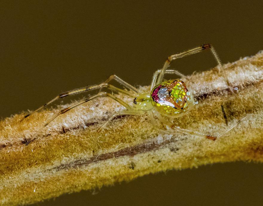 aranha4 - Essa fantástica aranha parece ser coberta de espelhos