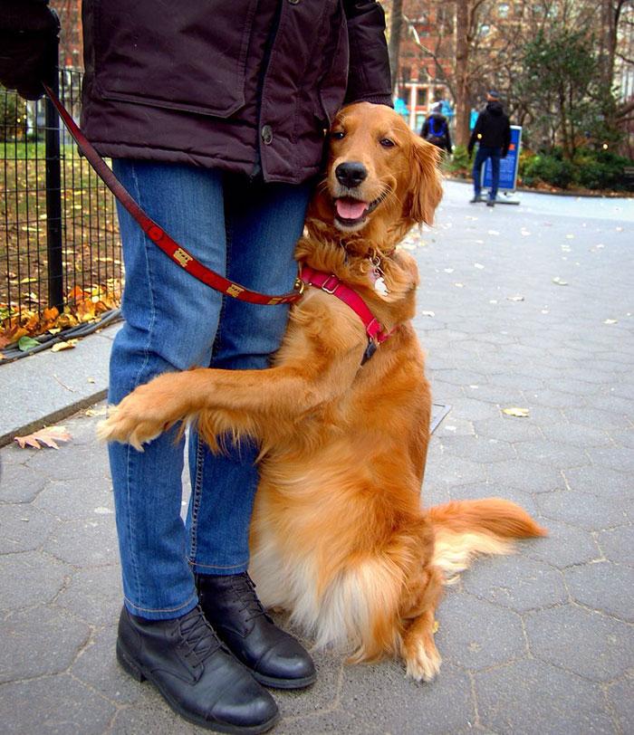 dog gives hugs louboutina retriever new york 18 - Este Retriever amou abraçar e está obcecado em abraços