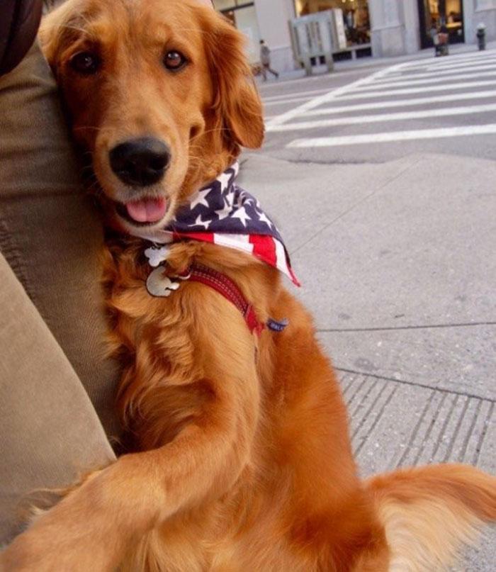 dog gives hugs louboutina retriever new york 2 - Este Retriever amou abraçar e está obcecado em abraços