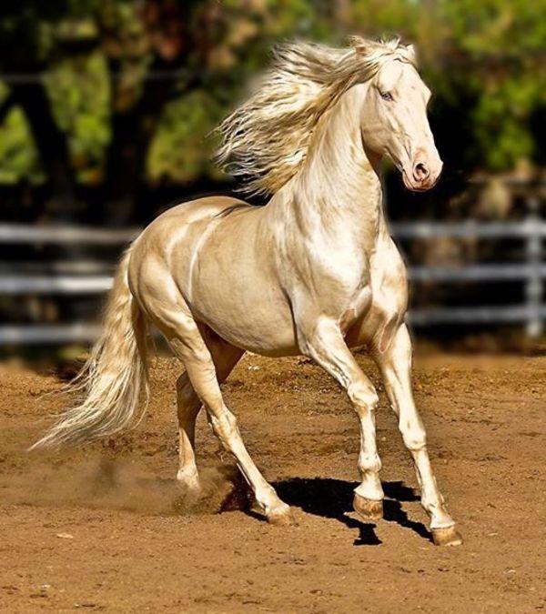 hast5 - Cavalo que tem uma pelagem brilhante como ouro encanta o mundo todo