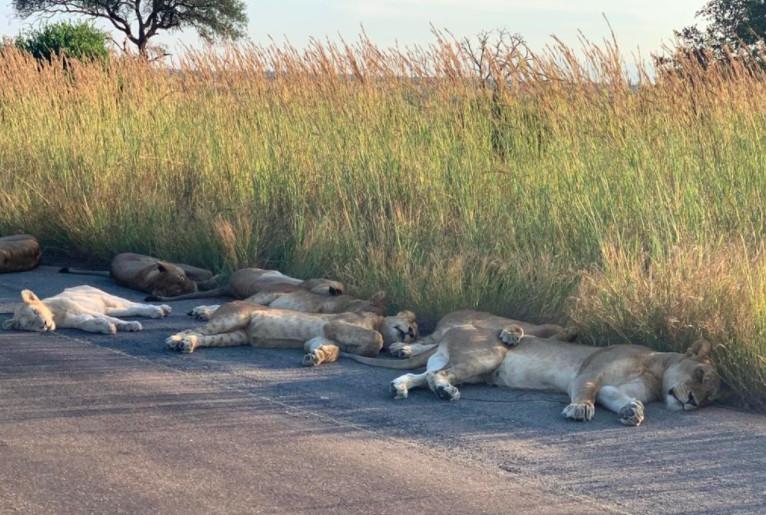 leoni asfalto 2 - Leões tiram soneca em estrada deserta por conta do confinamento em plena luz do dia