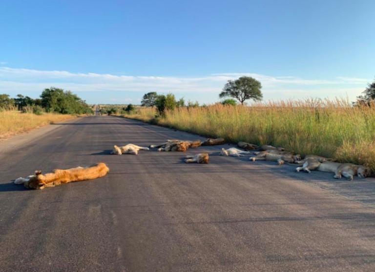 leoni asfalto 4 - Leões tiram soneca em estrada deserta por conta do confinamento em plena luz do dia
