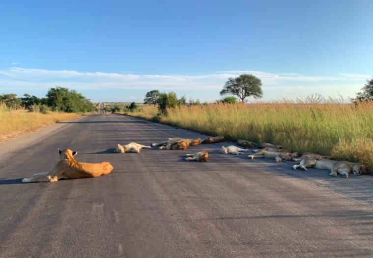 leoni asfalto - Leões tiram soneca em estrada deserta por conta do confinamento em plena luz do dia