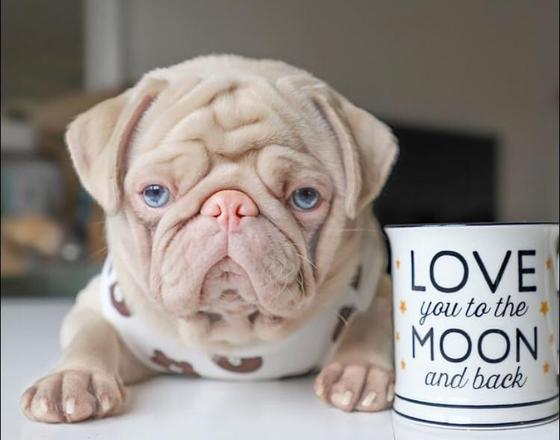 pug milkshake 01042020123701804 - Esse é o Milkshake, um pug albino com olhos azuis e pelo rosa que viralizou pela internet