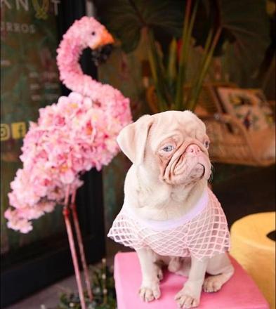 pug milkshake 01042020123702325 - Esse é o Milkshake, um pug albino com olhos azuis e pelo rosa que viralizou pela internet