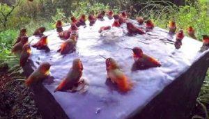 30 colibries bano 1 300x171 1 - Uma câmera escondida conseguiu gravar 30 beija-flores banhando e se divertindo