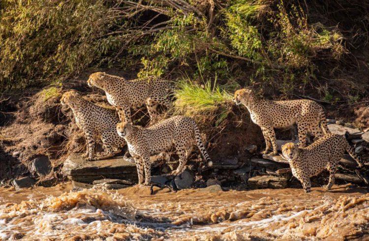 arnfinn 11 750x490 1 - Fotógrafos da vida selvagem capturaram cenas incríveis de uma família chita atravessando rio com crocodilos