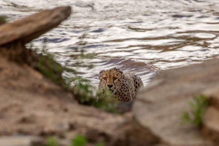 arnfinn 16 750x501 1 - Fotógrafos da vida selvagem capturaram cenas incríveis de uma família chita atravessando rio com crocodilos