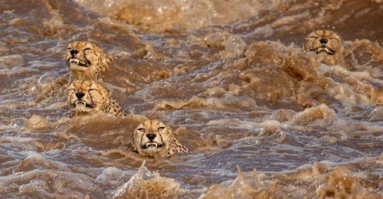 arnfinn 17 750x390 1 - Fotógrafos da vida selvagem capturaram cenas incríveis de uma família chita atravessando rio com crocodilos