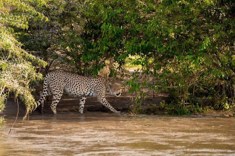 arnfinn 2 750x499 1 - Fotógrafos da vida selvagem capturaram cenas incríveis de uma família chita atravessando rio com crocodilos