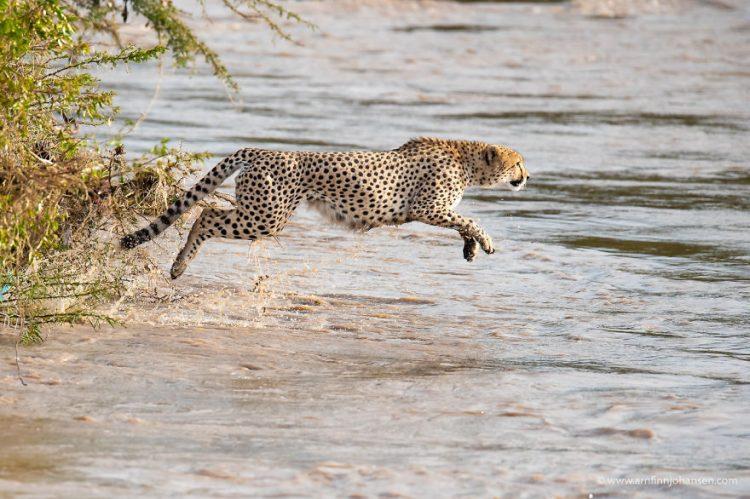 arnfinn 3 750x499 1 - Fotógrafos da vida selvagem capturaram cenas incríveis de uma família chita atravessando rio com crocodilos