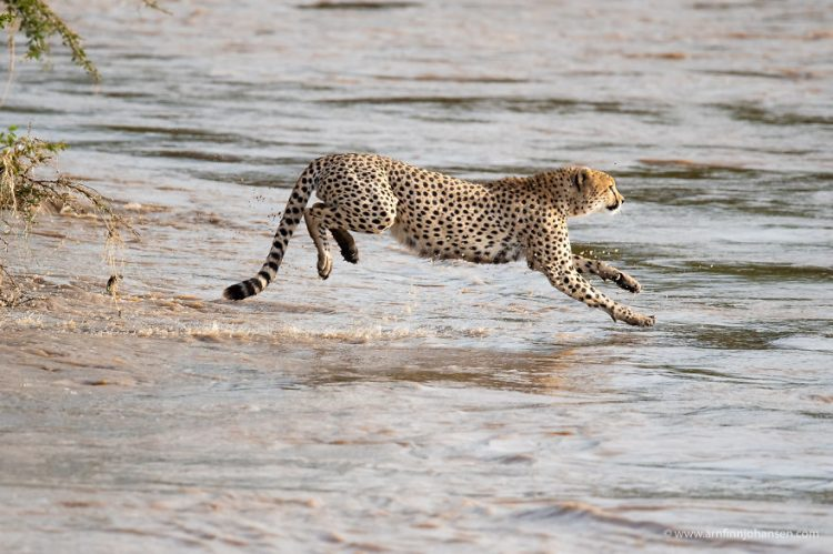 arnfinn 4 750x499 1 - Fotógrafos da vida selvagem capturaram cenas incríveis de uma família chita atravessando rio com crocodilos