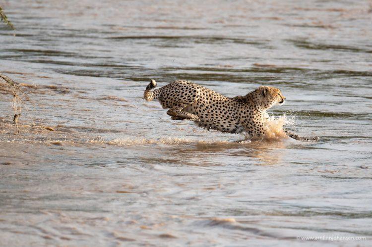 arnfinn 5 750x499 1 - Fotógrafos da vida selvagem capturaram cenas incríveis de uma família chita atravessando rio com crocodilos