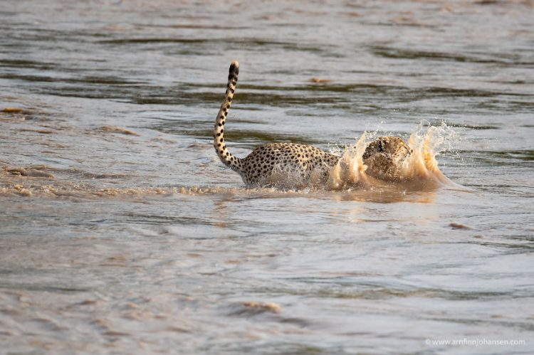 arnfinn 6 750x499 1 - Fotógrafos da vida selvagem capturaram cenas incríveis de uma família chita atravessando rio com crocodilos