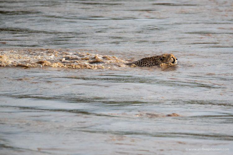 arnfinn 7 750x499 1 - Fotógrafos da vida selvagem capturaram cenas incríveis de uma família chita atravessando rio com crocodilos
