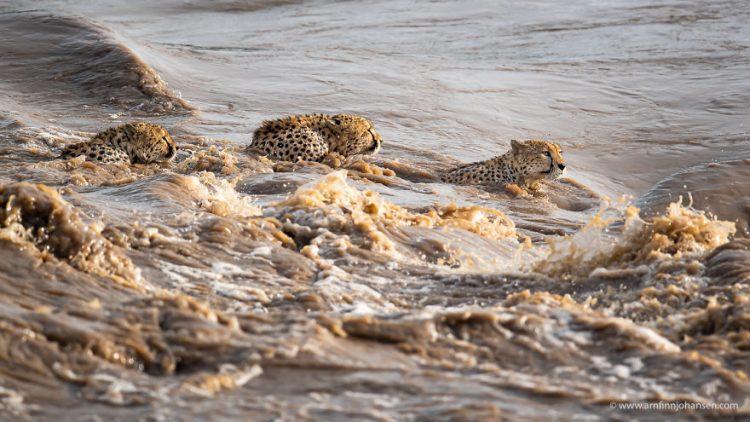 arnfinn 8 750x422 1 - Fotógrafos da vida selvagem capturaram cenas incríveis de uma família chita atravessando rio com crocodilos