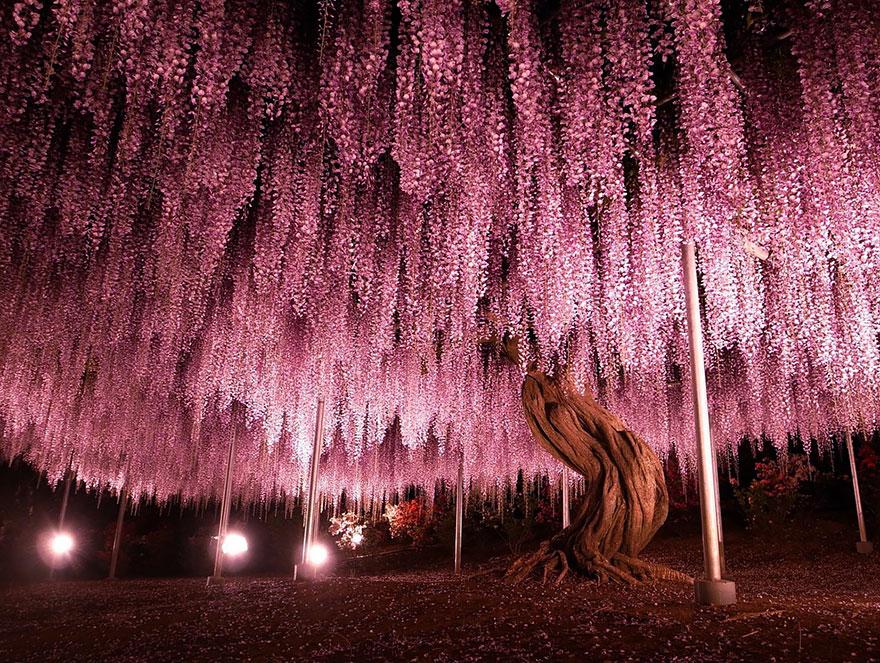arvjap - Esta glinícia japonesa de 144 anos parece ter saído de um conto de fadas