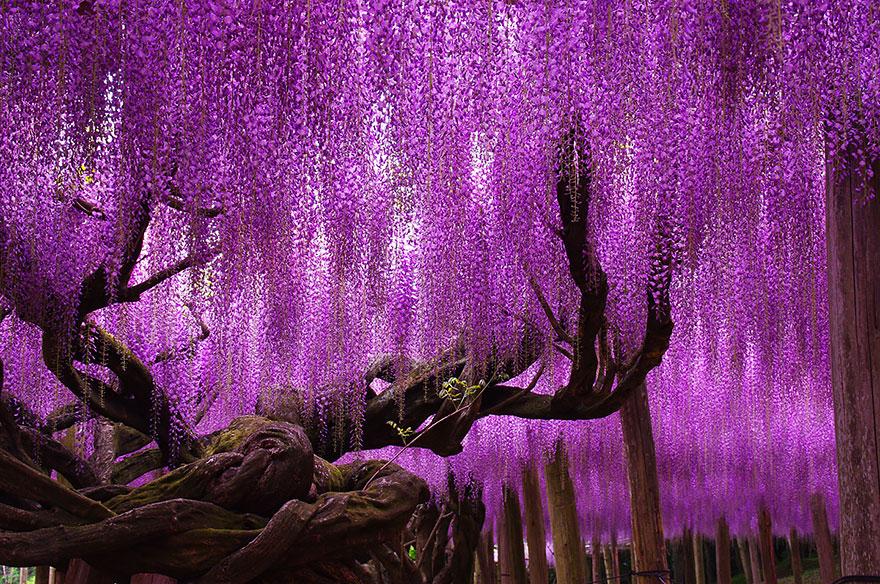 arvjap2 - Esta glinícia japonesa de 144 anos parece ter saído de um conto de fadas